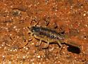 unknown scorpion - Centruroides vittatus