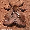 Euclea obliqua