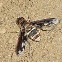Bee Fly - Exoprosopa fascipennis