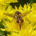 Genus Parhelophilus? - Parhelophilus