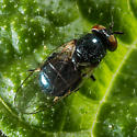 Tiny Black Fly on a Bean Leaf