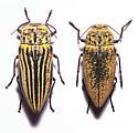 Two Morphs? - Gyascutus planicosta