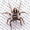 Twinflagged Jumping Spider - Anasaitis canosa