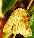 Moth 090513a - Isogona tenuis