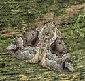Hypena palparia - female