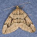 Steve Diehl, Antwerp, NY Juniper Carpet Moth - Thera juniperata
