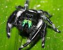 Jumping Spider - Phidippus regius - male
