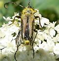Some kind of Long-horned Beetle? - Lepturobosca chrysocoma
