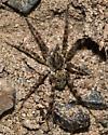 Banded legged Spider - Arctosa littoralis