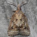 Tufted Apple Bud Moth - Platynota idaeusalis - male