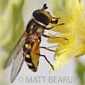 Fly - Eupeodes fumipennis