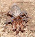 Spider - Elaver