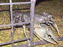 Burrowing Crayfish, possibly Cambarus aldermanorum