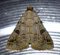 Moth - Glympis concors