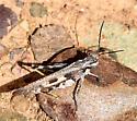 Platte Range Grasshopper - Mestobregma plattei - male