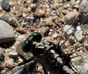 Gomphidae - Dromogomphus spinosus