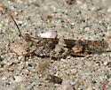 Desert Grasshopper - Trimerotropis pallidipennis - male