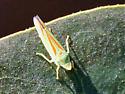 Portland Bug - Graphocephala fennahi