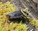 unkn beetle - Necrophila americana