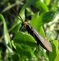 Moth - Cisseps fulvicollis