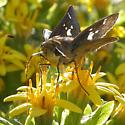 Violet-banded Skipper - Nyctelius nyctelius