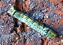 Caterpillar ID ? - Episemasia cervinaria