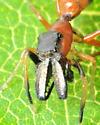 Ant-mimic Jumper - Myrmarachne formicaria - male