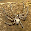 Spider ID Request - Olios giganteus