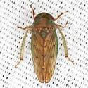 Gyponinae Leafhopper - Polana quadrinotata