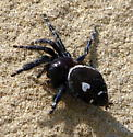 What kind of spider is this? - Phidippus audax