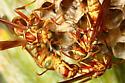 Paper Wasp - Polistes Apachus - Polistes apachus