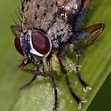 Tiger Fly with prey - Coenosia tigrina