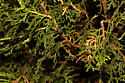 Colletes latitarsis roosting - Colletes latitarsis - male