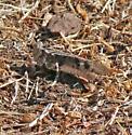 Pallid-winged?  - Dissosteira pictipennis - female