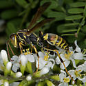 Unknown wasp (Polistes?) - Polistes dorsalis - male