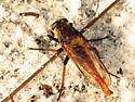 Robber2 - Proctacanthus fulviventris