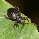 Root Weevil - Otiorhynchus ovatus