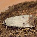 Anicla infecta - moth C - Anicla infecta