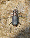 Which Tiger Beetle is this? - Cicindelidia haemorrhagica