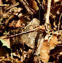 Gomphus sp. (possibly exilis?) - Gomphus