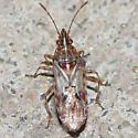 Unknown heteropteran - Belonochilus numenius