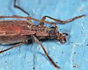 Cerambycidae - Calopus angustus