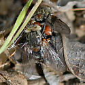 ID for a Tachinid fly? - Peleteria - male - female