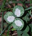 Leaf mines on clover - Porphyrosela minuta