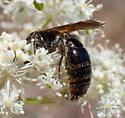 Dark bee with dark wings