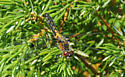 Toronto dragonfly - Leucorrhinia