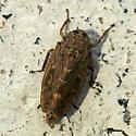 leafhopper - Euscelis variegatus