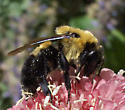 Maybe Nevadensis? - Bombus nevadensis