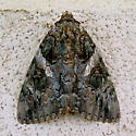 Catocala piatrix