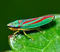 Graphocephala coccinea?